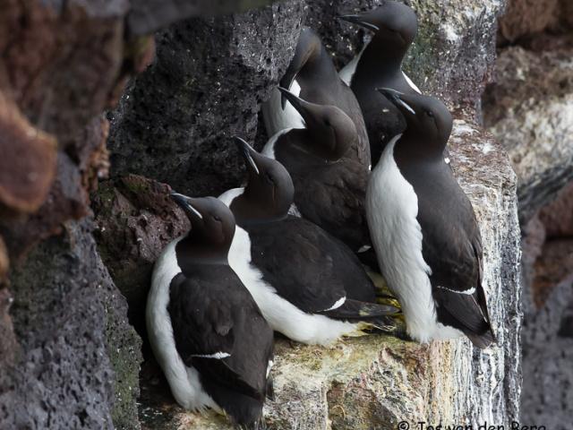 Vogels IJsland