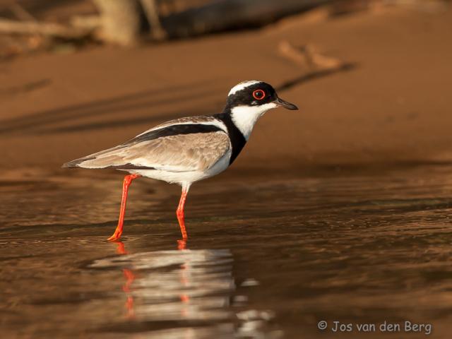 Vogels Brazilië