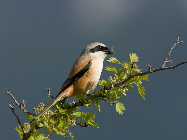 Vogels Kazakhstan