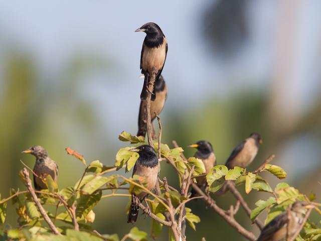 Vogels India