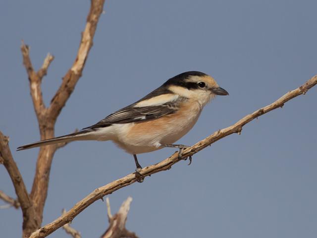 Vogels Israel