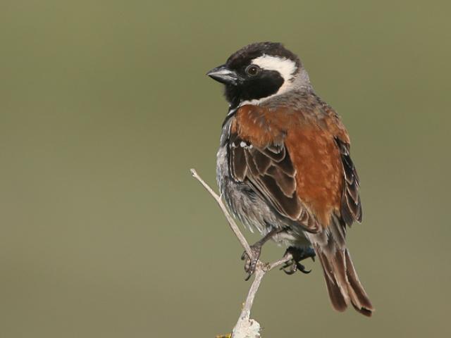 Vogels Zuid-Afrika